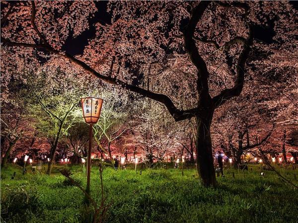 预测:2014樱花季中国游客赴日游恐创新高
