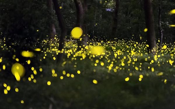 美媒:上海萤火虫公园被叫停 影响物种生态
