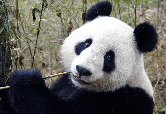 四川:将建大熊猫生态旅游环线 大熊猫将申遗