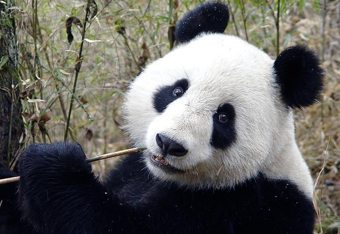 生态:大熊猫栖息地萎缩 旅游业令问题加剧