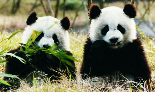 中国:将建大熊猫公园 面积为美国黄石公园3倍