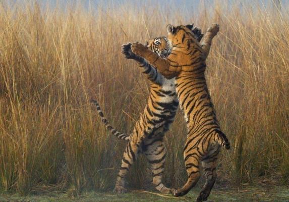 柬埔寨:引进印度老虎带动野生动物旅游业