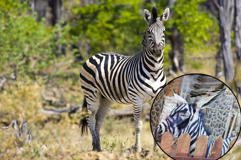 开罗动物园驴扮斑马骗游客 天热妆花被识破