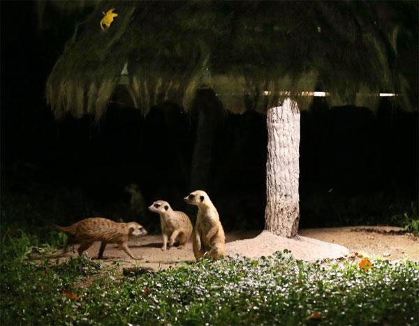 """上海野生动物园:要做国内首个""""夜间动物园"""""""